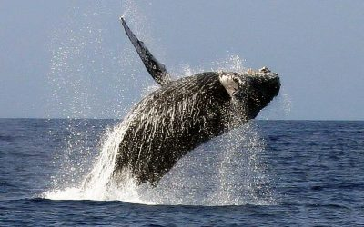 Don't Miss Whale Watching on the Gold Coast – Winter/Spring 2021